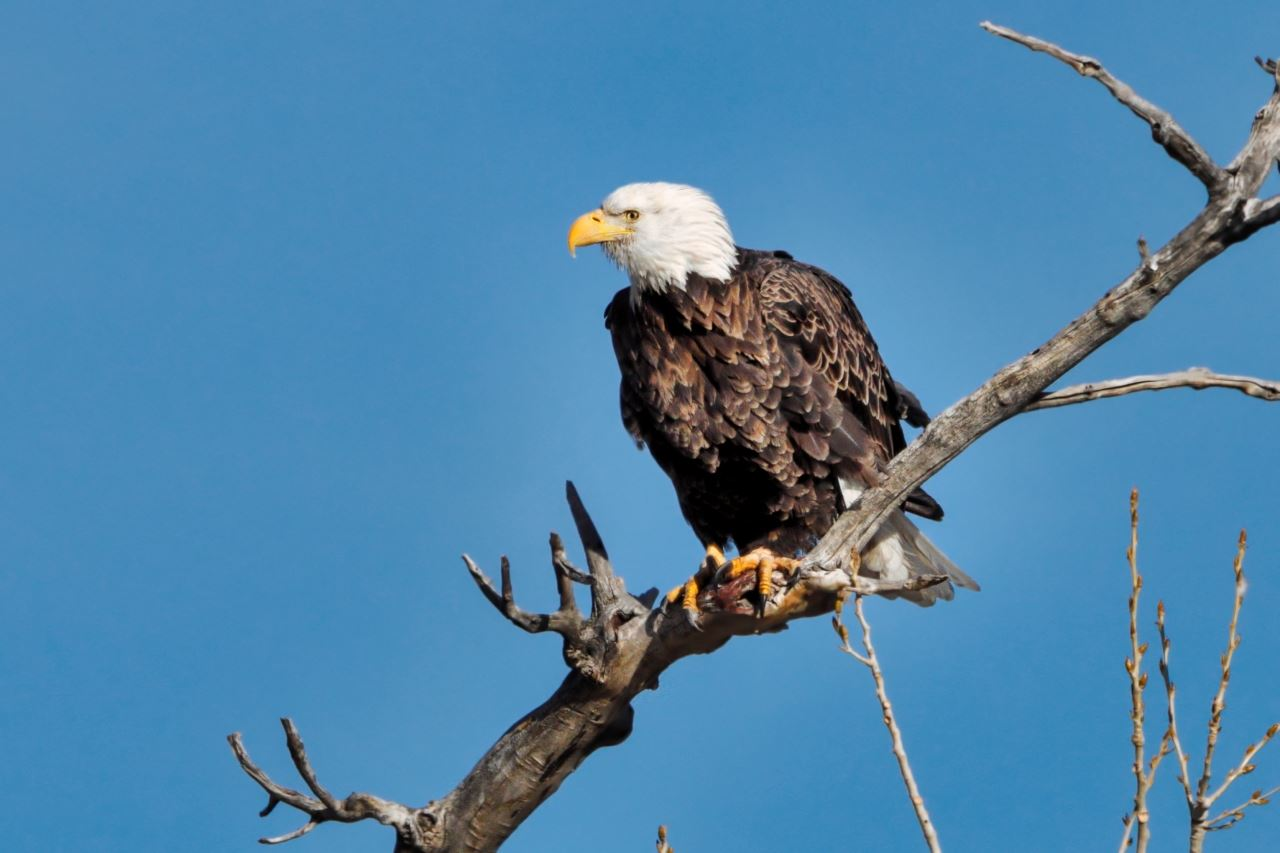 Bald Eagle 1-3-20 Gary Bowen (3)