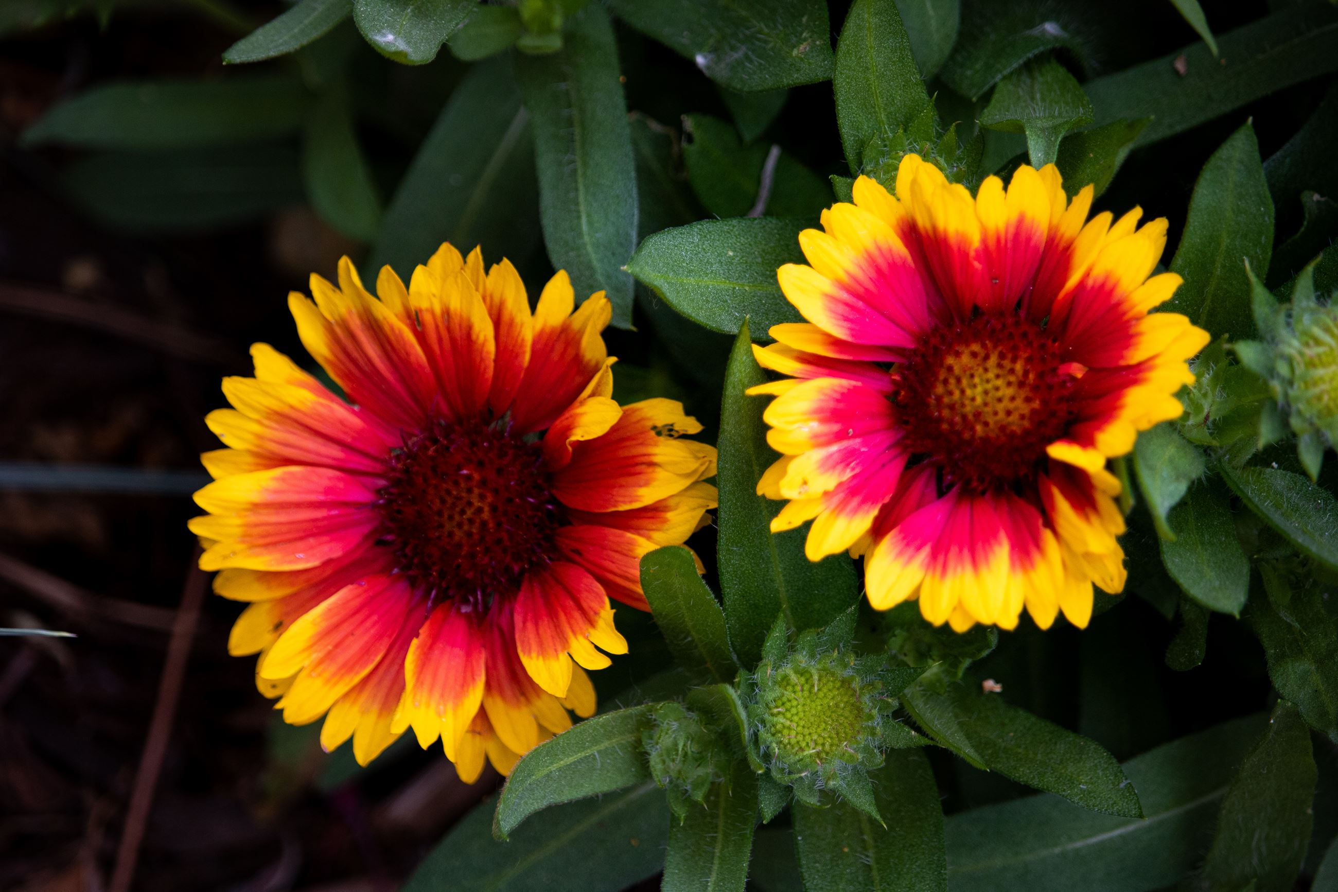 Blanket Flower closeup