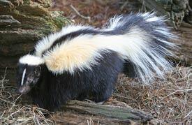 Skunk CP