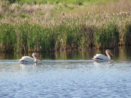Pelicans-on-pond
